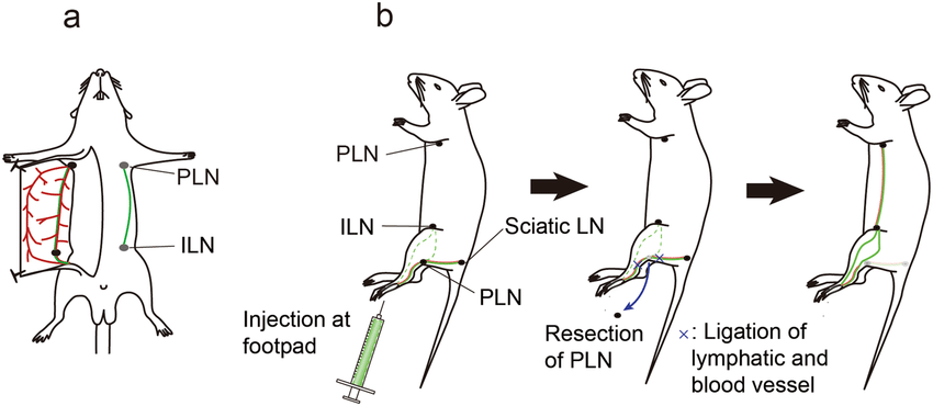 Surprising Schematic Diagram Illustrating A Lymphatic Flow Modified Mouse A Wiring Cloud Inklaidewilluminateatxorg