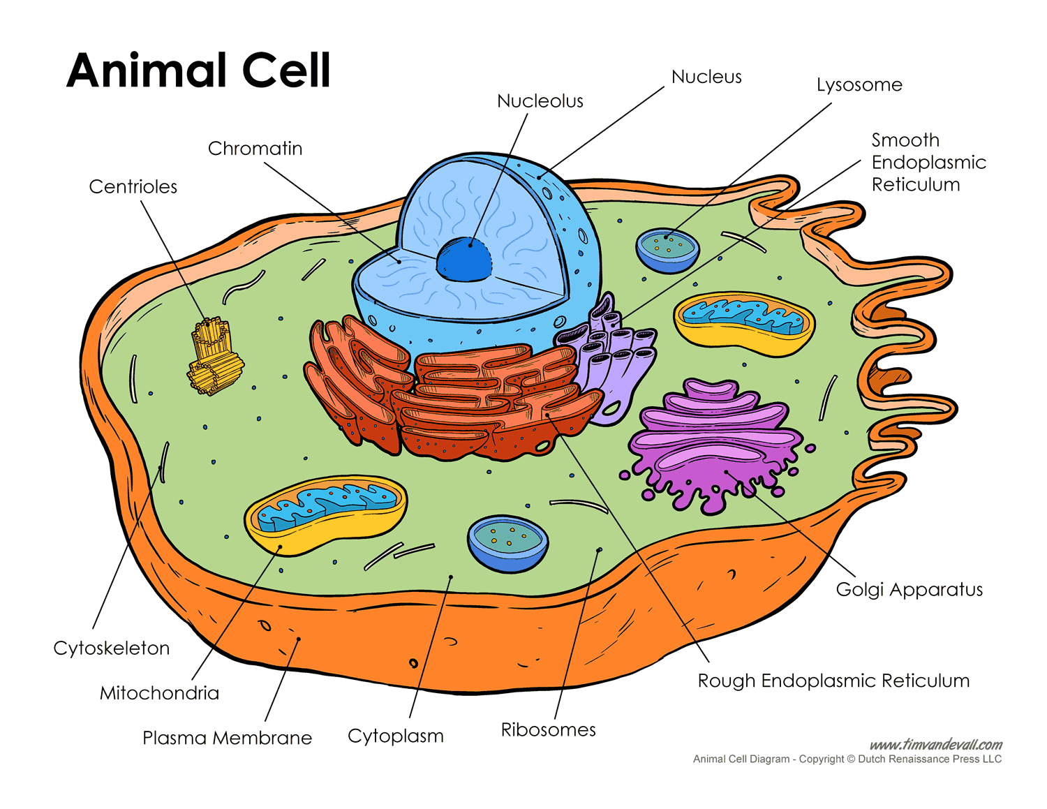 Amazing Free Animal Cell Unlabeled Download Free Clip Art Free Clip Art On Wiring Cloud Grayisramohammedshrineorg