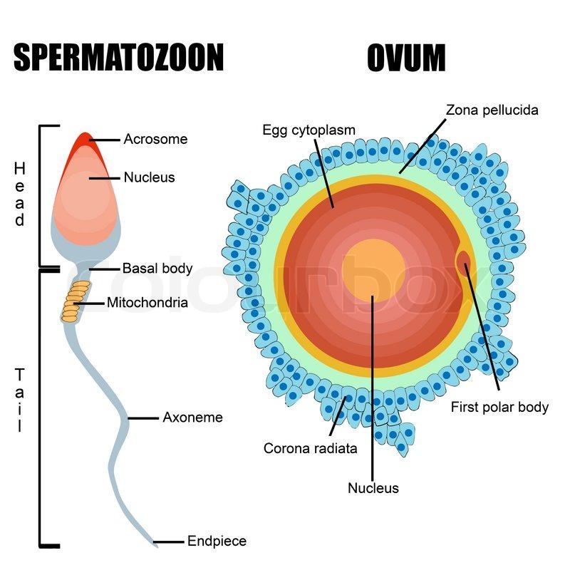 ka_8901] womans diagram of an egg free diagram woman's diagram of an egg female reproductive system waro skat olyti phae mohammedshrine librar wiring 101