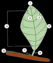Miraculous Leaf Wikipedia Wiring Cloud Mousmenurrecoveryedborg