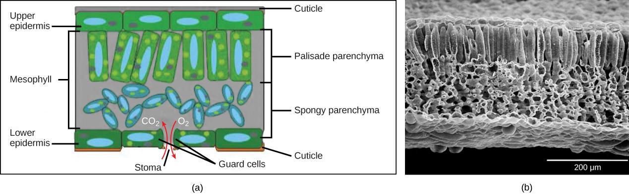 Remarkable Leaves Biology For Majors Ii Wiring Cloud Mousmenurrecoveryedborg