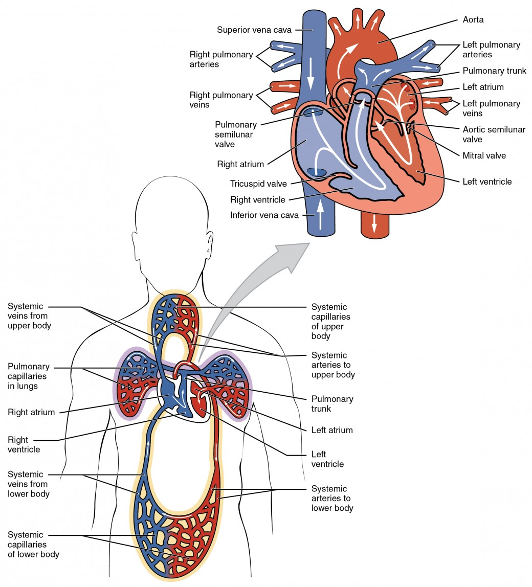Surprising Heart Anatomy Anatomy And Physiology Wiring Cloud Ostrrenstrafr09Org