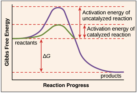 Pleasant Enzymes And The Active Site Article Khan Academy Wiring Cloud Eachirenstrafr09Org