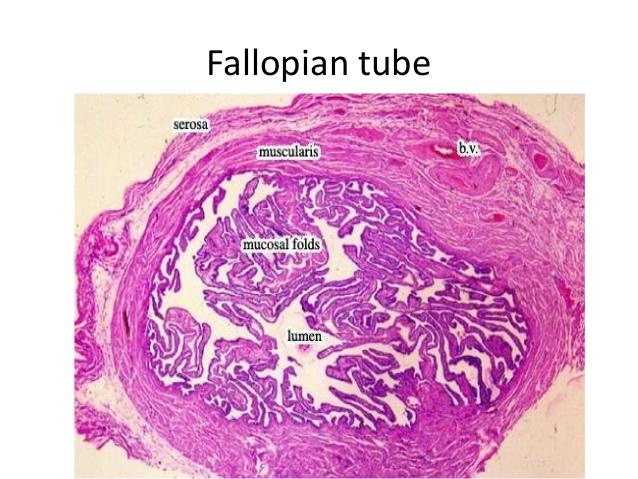 [Get 24+] Ampulla Of Uterine Tube Histology