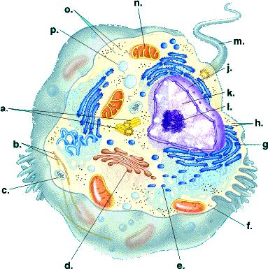 Stupendous Cell Structure And Function Wiring Cloud Vieworaidewilluminateatxorg