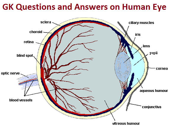 Brilliant Gk Questions And Answers On Human Eye Wiring Cloud Vieworaidewilluminateatxorg