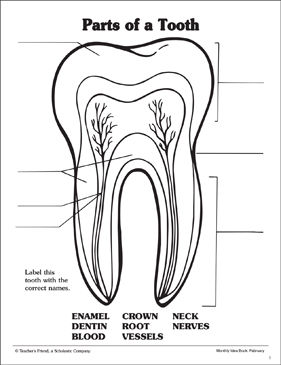 Groovy Parts Of A Tooth Labeling Practice Page Printable Skills Sheets Wiring Cloud Waroletkolfr09Org