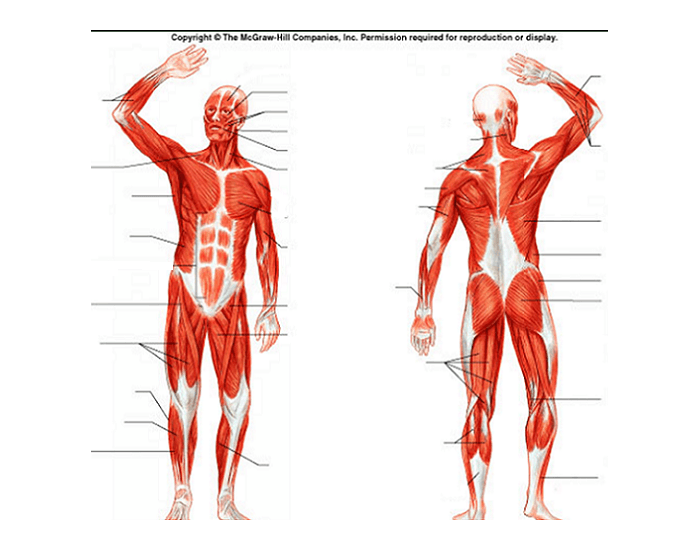 Phenomenal Human Muscles Of The Body Diagram Unlabeled Pe Poster Body Wiring Cloud Hemtegremohammedshrineorg