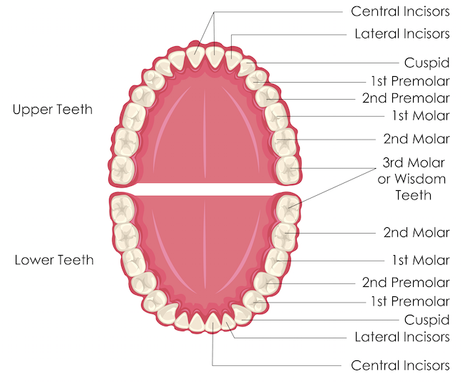 Astonishing Front Teeth Diagram Wiring Diagram Wiring Cloud Waroletkolfr09Org