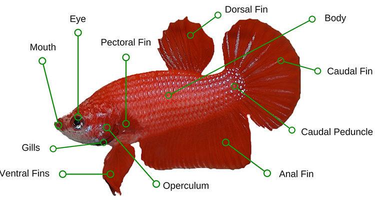 Superb Betta Fish Anatomy Plus Male And Female Differences Bettafish Org Wiring Cloud Vieworaidewilluminateatxorg
