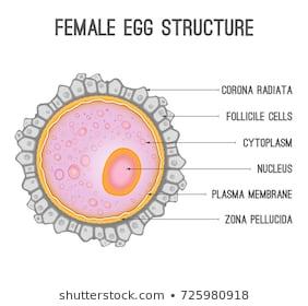 ka_8901] womans diagram of an egg free diagram woman's diagram of an egg female reproductive system diagram waro skat olyti phae mohammedshrine librar wiring 101