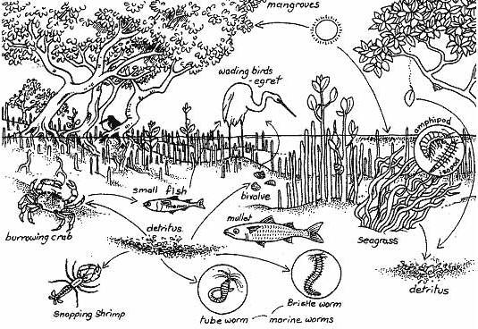 Awe Inspiring Ekosistem Mangrove Hendra Suriantas Blog Wiring Cloud Vieworaidewilluminateatxorg