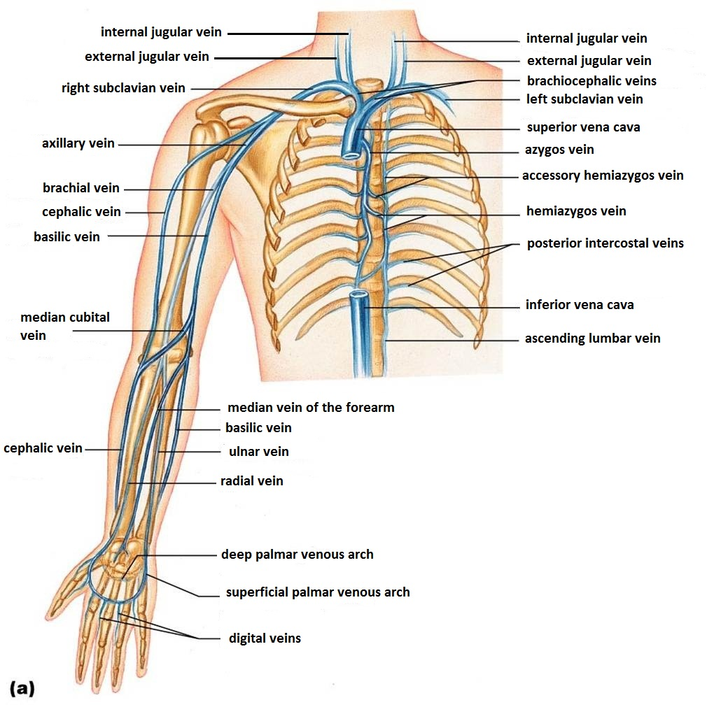 KT_0478] Diagram Of Veins In Your Arm Wiring DiagramOphag Cali Stica Stica Trons Mohammedshrine Librar Wiring 101