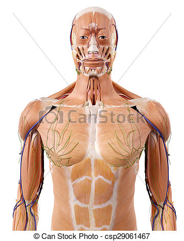Astounding The Upper Body Anatomy Medically Accurate Illustration Of The Upper Wiring Cloud Hemtegremohammedshrineorg
