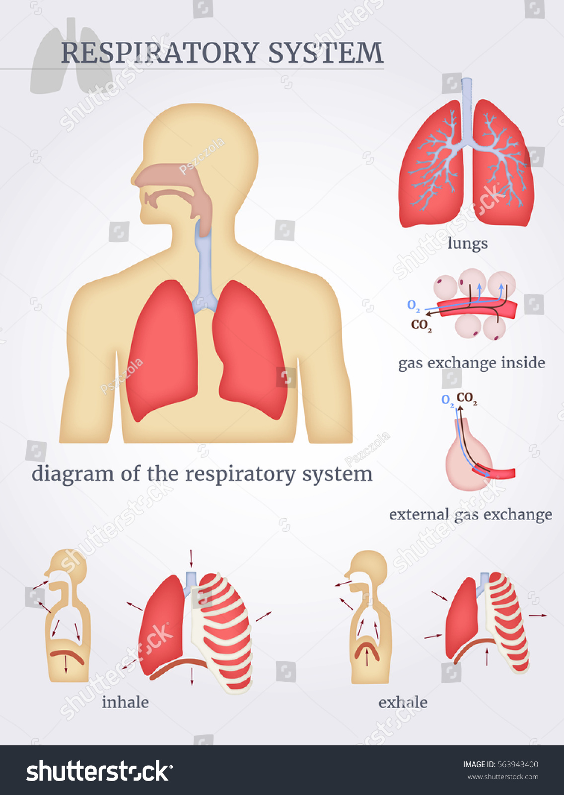 Nd 6425  Inhalation And Exhalation Diagram Inhalation And
