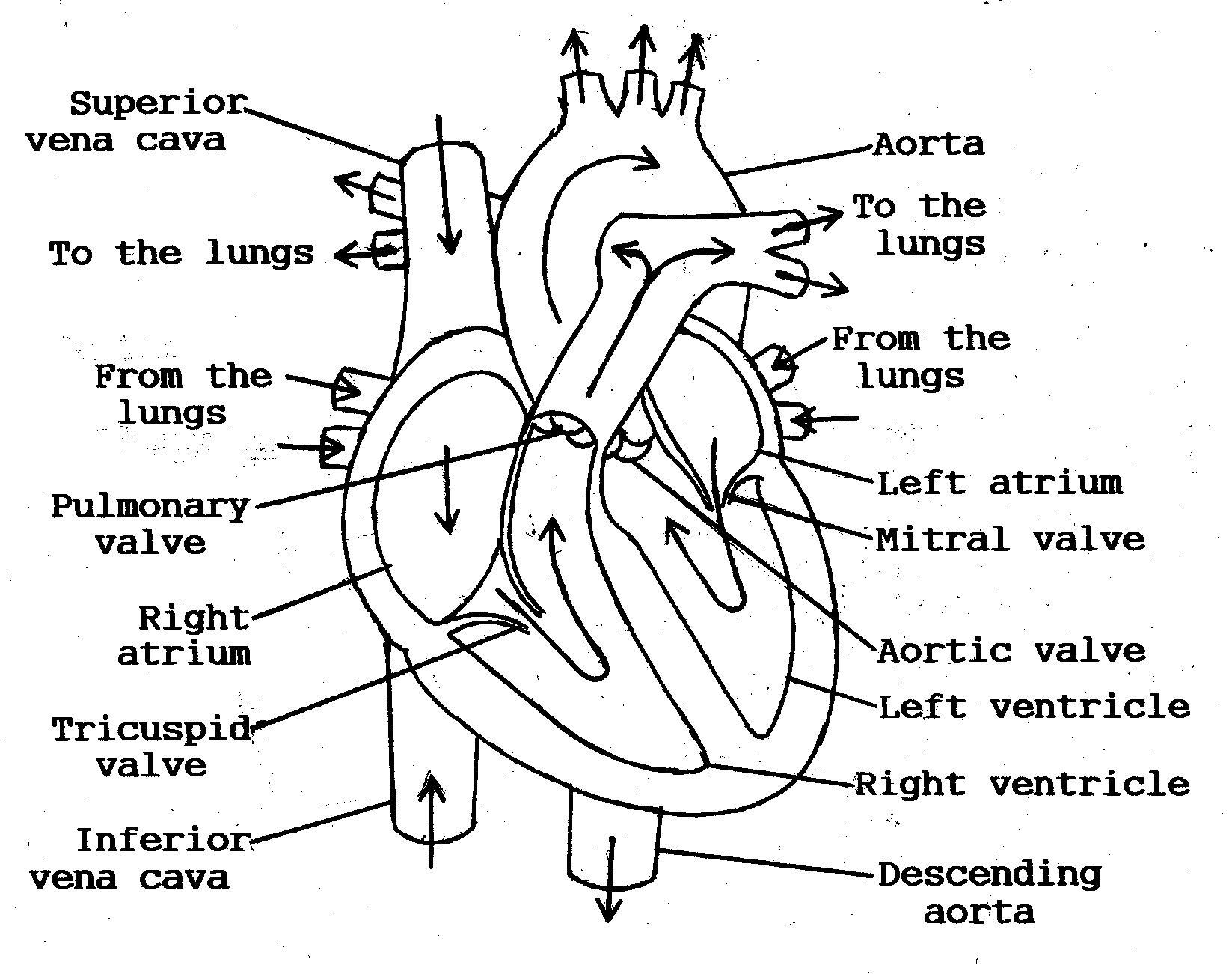 Oh 6449 Blank Human Heart Diagram Blank Heart Diagram Schematic Wiring