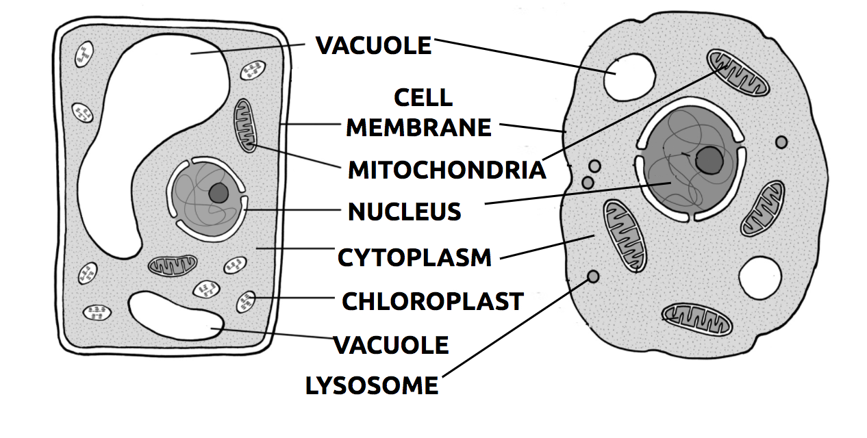 GH_4767 Eukaryotic Animal Cell Labeled Wiring Diagram